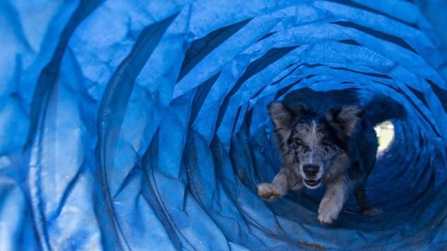 Namun, tak sembarang kemampuan yang diajarkan. Masing-masing anjing diasah berdasarkan dengan 'bakat' masing-masing. (Photo by Martin BERNETTI/AFP)