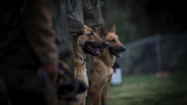Sebanyak 200 anjing diasah di Sekolah Anjing Kepolisian Chili. Dan, sebanyak 20 di antaranya telah lulus pada tahun 2018. (Photo by Martin BERNETTI/AFP)