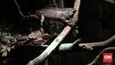 Tak hanya hewan laut, Iguana juga menjadi koleksi di Jakarta Aquarium. Total ada lebih 600 jenis satwa Mamalia, Reptil, Serangga dan beragam jenis ikan laut Indonesia yang menjadi koleksi Jakarta Aquarium.