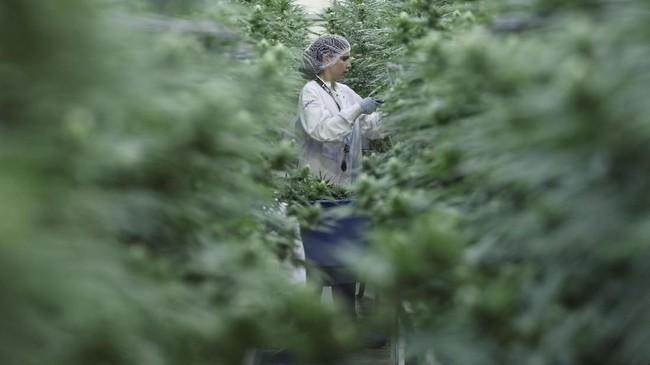 Melegalkan mariyuana di Kanada diharapkan bisa menciptakan industri senilai US$4 juta. (REUTERS/Chris Wattie)