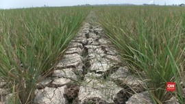 VIDEO: Ratusan Hektare Sawah di Subang Kekeringan