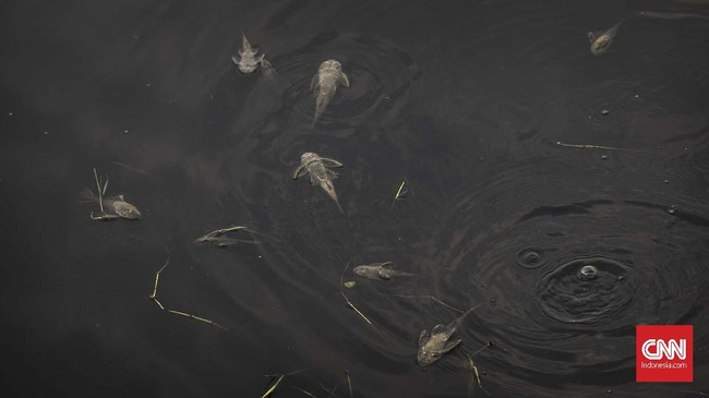 Sejumlah bangkai ikan sapu-sapu mengambang di Kali Bekasi. Warga yakin limbah industri menyebabkan biota Kali Bekasi mati. (CNN Indonesia/Adhi Wicaksono)