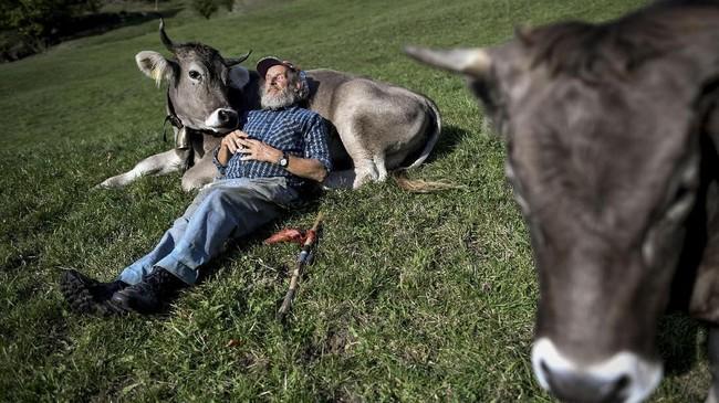 Petani Swiss, Armin Capaul, berpose dengan sapinya di sebuah padang rumput di Perrefite, Swiss bagian Utara. Capaul mengumpulkan lebih dari 100 ribu tanda-tangan untuk meminta bantuan finansial bagi peternak yang tidak memotong tanduk hewan peliharaannya. (Fabrice COFFRINI / AFP)