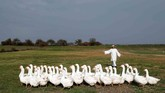Seorang peternak bernama Siegfried Marth mengumpulkan angsa-angsanya di sebuah padang rumput di Hagensdorf, Austria. (REUTERS/Heinz-Peter Bader)