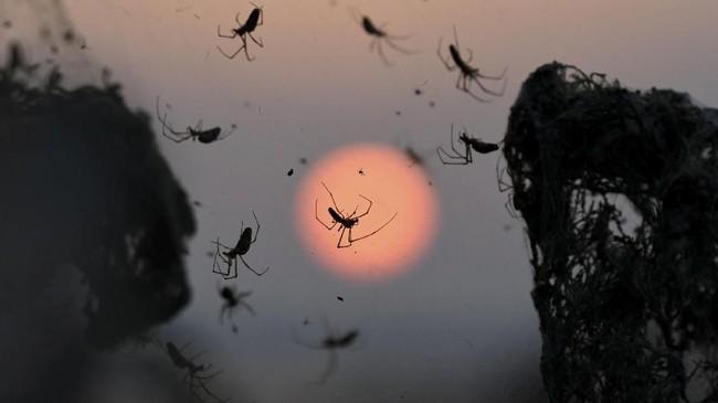 Hewan ini berukuran lebih langsing dan panjang jika dibanding laba-laba yang sering terlihat di rumah.