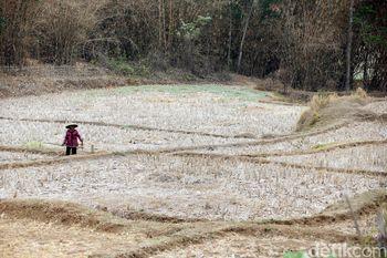 Potret Kekeringan Lahan Pertanian di Cikarang