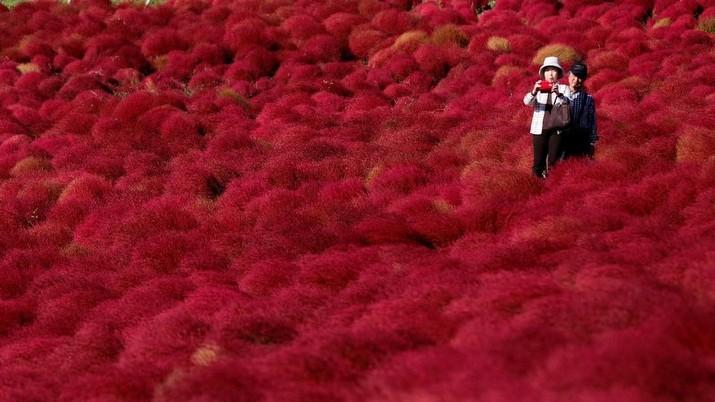 Semerah Darah, Bunga Ini Lebih Tenar dari Sakura di Jepang