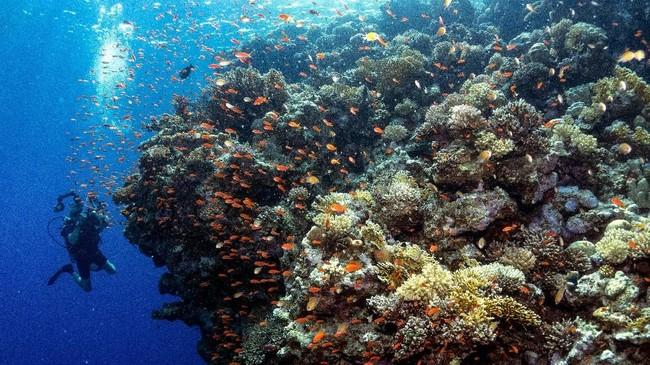 Laut Merah tak cuma sedap dipandang dari daratan. Panorama bawah lautnya juga menarik untuk dijelajahi, salah satunya titik selam Taman Nasional Ras Mohammad, selatan Semenanjung Sinai.