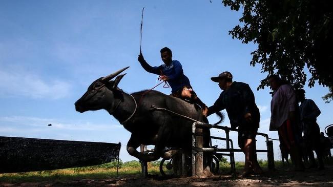 Tradisi yang sudah dilakukan selama lebih dari satu abad terakhir itu berupa karapan alias balap kerbau. (REUTERS/Athit Perawongmetha)