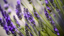 7 Aroma Minyak Esensial Terbaik untuk Kurangi Kecemasan