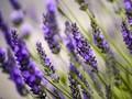 Studi Buktikan Khasiat Aroma Lavender Redakan Stres