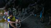 Masyarakat Chonburi pun berlomba-lomba mengeluarkan kerbau koleksi mereka yang terbaik untuk jadi pemenangnya. (REUTERS/Athit Perawongmetha)