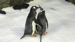 Penguin Sesama Jenis di Australia Resmi Jadi Orangtua
