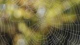Tetesan air terlihat di jaring laba-laba saat musim panen anggur di Chateau du Pavillon di Perancis. (REUTERS/Regis Duvignau)