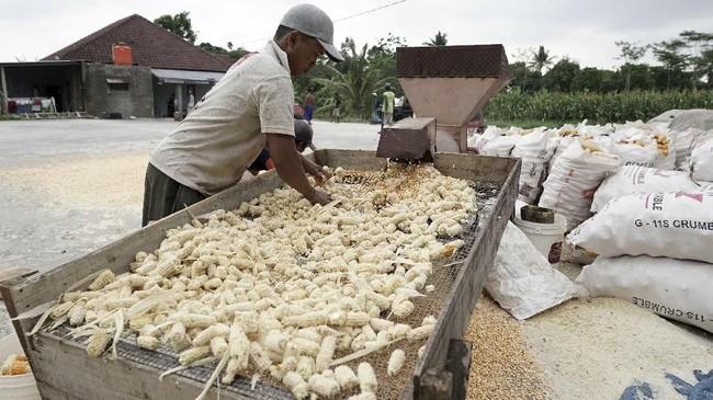 Parjuni dari Pinsar mempertanyakan klaim surplus jagung versi Kementan. Menurut dia, lazimnya harga turun jika surplus jagung benar-benar terjadi. Ia menduga ada perbedaan data di lapangan dengan data milik Kementan. (ANTARA FOTO/Idhad Zakaria).