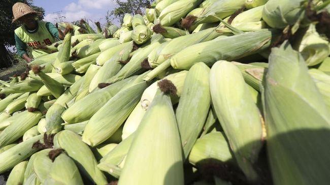 Dilema Impor Kemendag di Tengah Lonjakan Harga Jagung