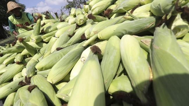 Berdasarkan catatan Perhimpunan Insan Perunggasan Rakyat Indonesia (Pinsar) dan Gabungan Organisasi Peternak Ayam Nasional (GOPAN), harga jagung per Oktober 2018 mencapai Rp5.000 - Rp5.200 per kilogra, (kg) di pasaran.(ANTARA FOTO/Prasetia Fauzani).