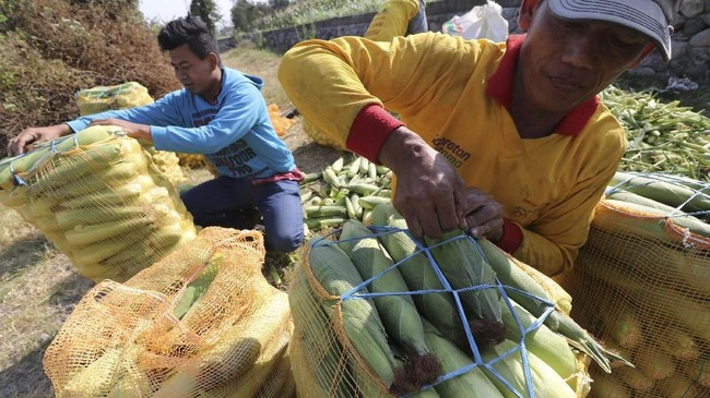 Harga jagung di pasaran diklaim berkisar Rp5.000 - Rp5.200 per kg di pasaran. Harga ini terpaut jauh dari harga acuan di tingkat konsumen untuk pembelian dan penjualan yang sebesar Rp4.000 per kg.(ANTARA FOTO/Prasetia Fauzani).