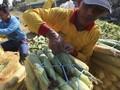 KSP Dorong BUMDes Distribusi Jagung dari Sentra ke Industri