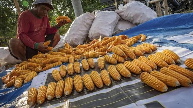Ketua Pinsar Parjuni mengatakan usaha ternaknya tercekik kenaikan harga pakan. Ia menduga kenaikan harga pakan didorong oleh kenaikan harga jagung. Disebutkan bahwa 50 persen dari komposisi pakan ternak berasal dari jagung. Itu berarti, kenaikan harga jagung mendorong kenaikan harga pakan. (ANTARA FOTO/Aji Styawan).