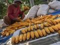 Petani Resah Jagung Impor Masuk saat Panen Raya