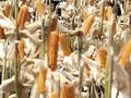 Menko Darmin Minta Menteri Rini Pantau Langsung Impor Jagung