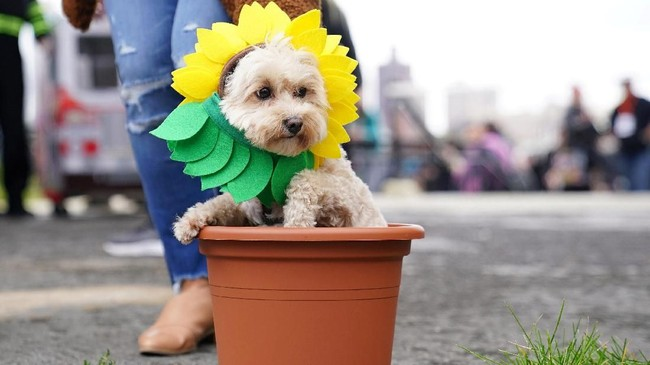 Tak hanya berdandan layaknya manusia, dalam parade yang sudah masuk usia ke-28 ini,ada juga anjing yangdidandani layaknya bunga matahari. (REUTERS/Carlo Allegri)