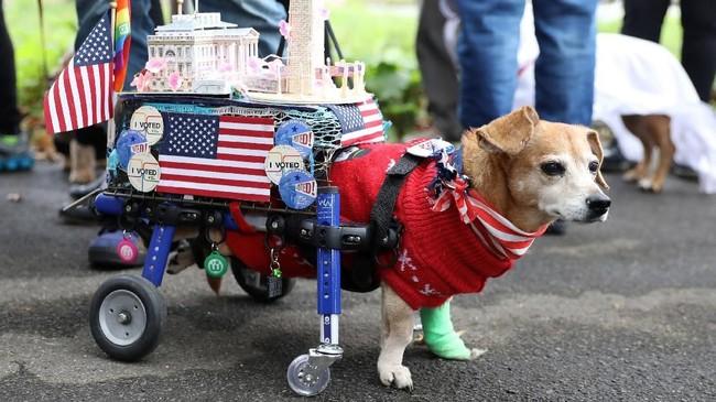 Ada juga seekor anjing difabel yang turut memeriahkan acara ini dengan berdandan heboh. REUTERS/Kevin Coombs