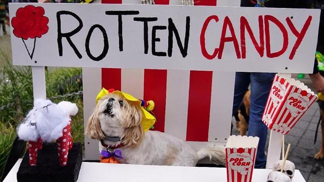 Terlihat seekor anjing 'menjual' permen yang bernuansa menyeramkan. (REUTERS/Carlo Allegri)