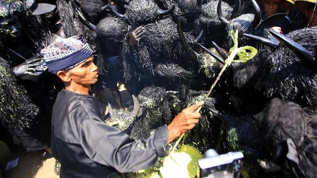 Tetua adat mekaukan ritual pada pemeran kebo-keboan di Desa Alas Malang, Banyuwangi. (ANTARA FOTO/Budi Candra)
