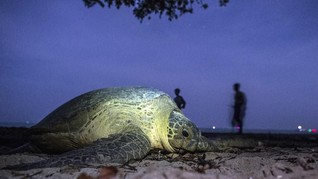 Populasi Penyu Menurun, Warga Tulungagung Menjaga Pantai
