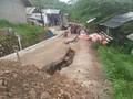 Tanah Bergerak, Ratusan Warga Gunungbatu Sukabumi Mengungsi