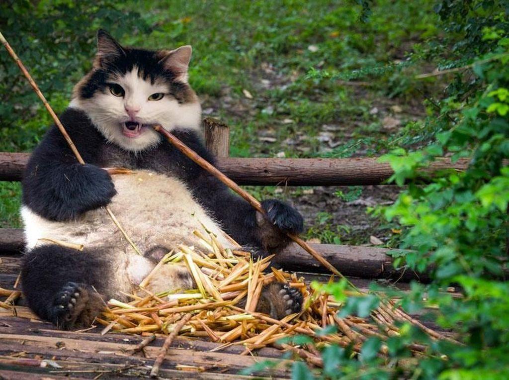 Perpaduan panda dengan kucing. (Foto: Boredpanda)