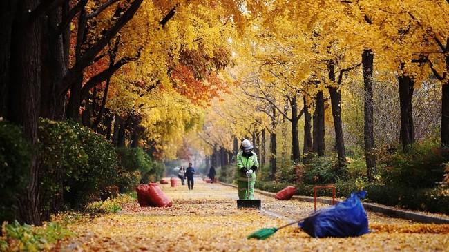 Petugas kebersihan menyapu dedaunan yang gugur saat musim gugur di Seoul, Korea Selatan.