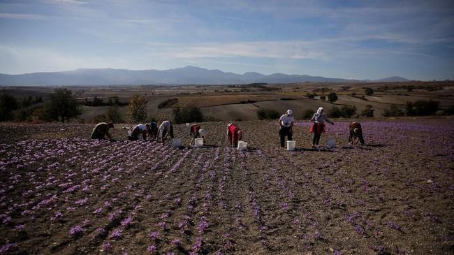 Safron, rempah-rempah dari bunga safron atau yang bernama latin Crocus sativus, telah menjadi 'ladang' penghasilan bagi warna Yunani. Sebagian besar warga beramai-ramai mencari nafkah dari safron. (REUTERS/Alkis Konstantinidis)