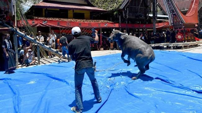 Pihak keluarga menyiapkan korban babi hutan dan kerbau untuk membebaskan jiwa dari mumi itu guna menyongsong kehidupan setelah kematian. (AFP/GOH Chai Hin)