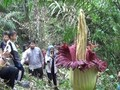 VIDEO: Dikira Hantu, Petani di Sumut Temukan Bunga Bangkai