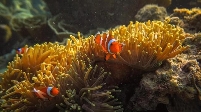 Sejumlah ikan badut (Amphiprioninae) berada di sekitar anemon (Actiniaria) yang hidup di terumbu karang di wilayah peraian konservasi Taman Nasional Karimunjawa (TNKJ), Jepara, Jawa Tengah. Karimunjawa adalah rumah bagi terumbu karang, hutan bakau, serta hampir 400 spesies fauna laut, di antaranya 242 jenis ikan hias.
