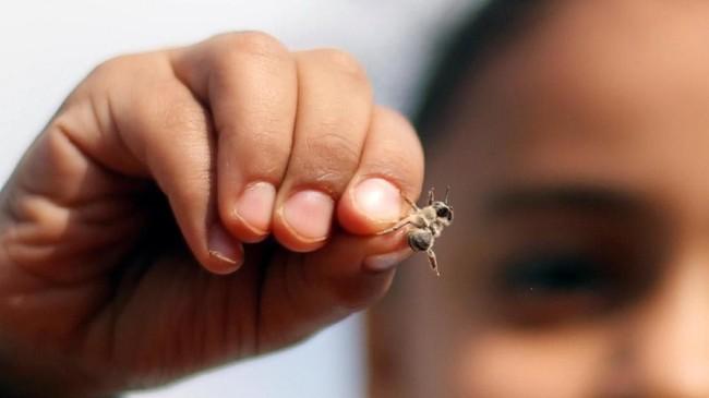 Selain madunya yang kerap dimanfaatkan sebagai suplemen tubuh, beberapa orang juga memanfaatkan racun dari sengatan lebah sebagai obat untuk menyembuhkan penyakit. (REUTERS/Amr Abdallah Dalsh)
