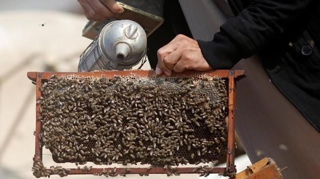 1. Meski sengatannya menakutkan, tapi lebah punya beragam manfaat untuk tubuh. (REUTERS/Amr Abdallah Dalsh)