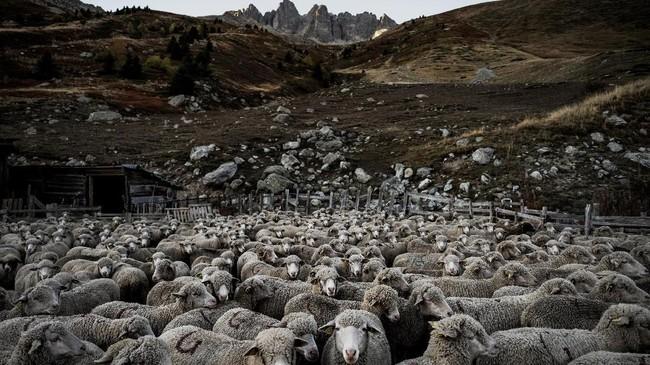 Terkadang, Meme patah hati ketika salah satu domba lolos dari pengamatannya dan ditemukantak bernyawa, dimangsa oleh serigala. (Photo by JEFF PACHOUD / AFP)
