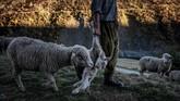 Meme mengangkat seekor anak domba agar ibunya mengikuti, menuju tempat yang lebih aman di lereng Pegunungan Alpen. Para domba ini harus selalu diawasi dari ancaman serigala. (Photo by JEFF PACHOUD / AFP)