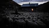 Jelang petang, Meme menggembalakan kawanan domba yang terdiri pada bulan Juni sampai Oktober lalu, berjumlah sekitar 1,300 ekor. (Photo by JEFF PACHOUD / AFP)