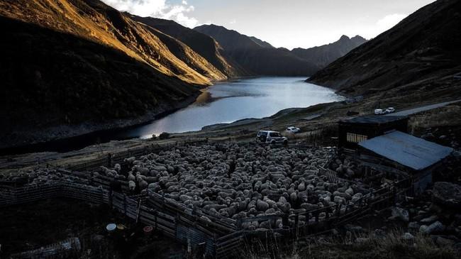Ribuan domba berkumpul di padang rumput dekat danau, sesaat jelang malam pada 13 Oktober 2018. (Photo by JEFF PACHOUD / AFP)