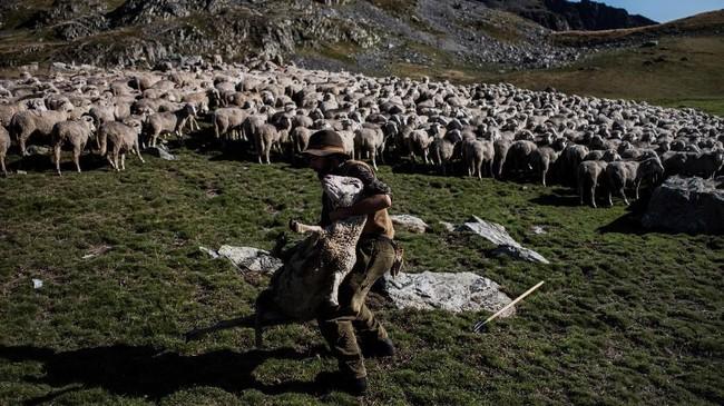 Meme memeluk dan bermain dengan seekor domba di antara kawanan lainnya, di lereng Pegunungan Alpen. (Photo by JEFF PACHOUD / AFP)