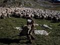 FOTO: Haru-Biru Hidup Penggembala Domba di Pegunungan Alpen