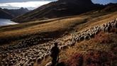 Meme di tengah kesibukan sehari-harinya pada 13 Oktober silam, mengawasi dan merawat 1,000 lebih domba. (Photo by JEFF PACHOUD / AFP)