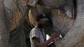 Ratusan gajah di India menyumbang lebih dari setengah populasi gajah Asia. Populasi gajah di India sendiri turun menjadi 27.312 pada tahun 2017 dari 30.711 pada tahun 2012. (REUTERS/Anushree Fadnavis)