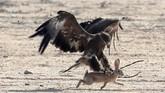 Burung Elang terlihat berburu kelinci yang sengaja dilepaskan dalam acara tersebut.