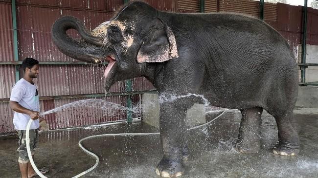 Gajah merupakah hewan penting dalam budaya India. Ia selalu hadir dalam setiap prosesi ritual di negara tersebut. (REUTERS/Anushree Fadnavis)